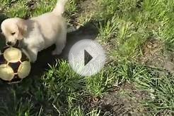 Golden retriever puppy (Keeper) discovers soccer ball
